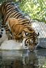 Suka (ToddLahman) Tags: sumatrantiger sandiegozoosafaripark safaripark suka tigers tiger tigertrail teddy joanne mammal animal canon7dmkii canon canon100400 water pond