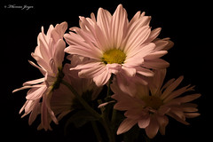 Pink Competition 1222 Copyrighted (Tjerger) Tags: nature black blackbackground bloom blooming bunch closeup competition daisy flora floral flower group macro mum petals pink plant portrait winter wisconsin yellow natural