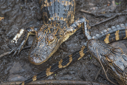young American Alligators