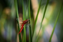 Déli szitakötő (Crocothemis erythraea) (jetiahegyen) Tags: tiszató rovar szitakötő kirándulás tour tanösvény túra túrázás hiking