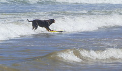 Surfie Dog... (The Pocket Rocket, On and Off.) Tags: surfiedog oceangrovebeach oceangrove victoria australia