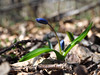 Snowdrop first blue flower at sun opened (mironenko1990) Tags: snowdrop blue green nature background beautiful spring flower fresh sun plant bright closeup leaf color beauty macro forest petal bloom blossom elegant still siberian march squill scylla bluebell