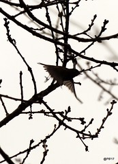 Chiffchaff in flight. (postman.pete) Tags: chiffchaff flight lumix hwcp spring wicked weasel wickedweasel