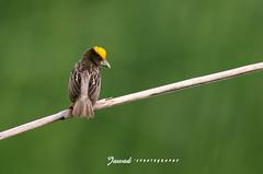 Black Breasted Weaver (Jawad_Ahmad) Tags: pakistan black nature beautiful birds wildlife weaver naturephotography naturelover sialkot breasted naturesphotography