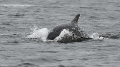Kesslet Whoosh (Charlie S Phillips) Tags: sea marine dolphin conservation wdc charlie dolphins whale moray firth bottlenose tursiops truncatus