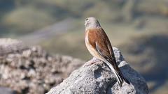 Linotte mlodieuse, Am, n (Der, 2014-05-30_1) (th_franc) Tags: oiseau linottemlodieuse