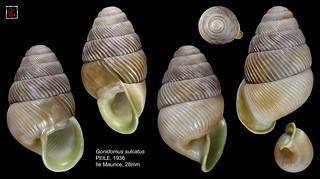 gonidomus sulcatus maurice 28mm