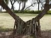 Pandanus Roots (mikecogh) Tags: coast roots pandanus kingscliff