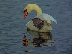 Swan Lake (MC Snapper78) Tags: reflection animal reflections reflecting scotland swan wildlife sony reflect renfrewshire lochwinnoch castlesempleloch clydemuirshielpark marilynconnor