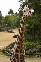 Giraffa camelopardalis DT [NZ Auckland Zoo] (8) (Archivo Murcilago Blanco) Tags: africa fauna auckland mammals mammalia aucklandzoo nuevazelanda ungulates giraf jirafa giraff mamifero artiodactyla giraffidae oceana cetartiodactyla ungulado ungulados tirira diegotirira archivomurcielagoblanco