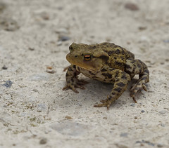 Toad on the road..... (magpie280168) Tags: toad rspbotmoor