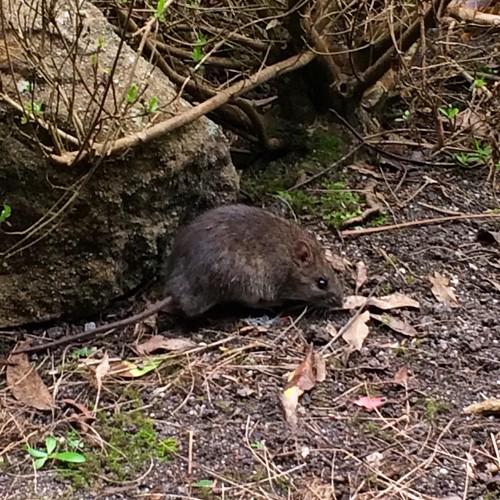 Binginwarri Bush Rat!