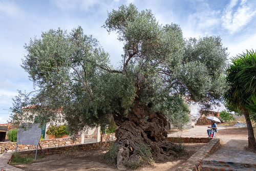 Olijfboom bij Vouves