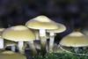 IMG_3165-Modifier (mycenium) Tags: wood mushroom canon belgium region foret brabant champignon bois 6d wallon wallonie wallone belgiquie