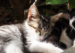kitten asleep (Lalallallala) Tags: travel italy cat italia syracuse siracusa archeologicalpark matka