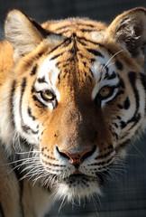 tijger hoenderdaell JN6A7281 (j.a.kok) Tags: tiger tijger bengaltiger pantheratigristigris bengaalsetijger hoenderdaell