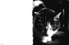 ''CAT !'' (films f2015 -1a) (I'N,I) Tags: bw italy ford film blanco monochrome cat vintage monocromo nikon italia iso400 films ita felino f2 analogue bergamo gatto bianco ilford nero bg analogica pellicola analogicait ptohomic