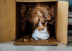 destruction (santi dada) Tags: pet brown home cat nikon box hide carton destroy shred d3100