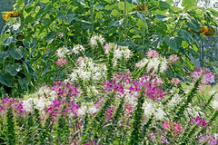 (wmpe2000) Tags: pink flowers white green ct 2015 cleome spiderflower cleomaceae orderbrassicales cleomefamily