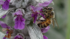 DSC03772 (Laurence Bee) Tags: flower macro nature animal insect bright outdoor bees bee honey nectar bumble apis mellifera specnature depth field specanimal