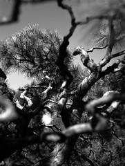 (deep dive) (Dinasty_Oomae) Tags: blackandwhite bw monochrome pinetree tokyo blackwhite outdoor  zeissikon  rikugien  bunkyoku    honkomagome   supersix