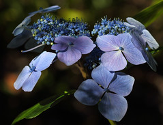 Charming Blues (AnyMotion) Tags: hydrangea hortensie blossom blüte bokeh 2016 anymotion flower blume floral travel reisen nature natur tofino botanicalgarden vancouverisland britishcolumbia canada kanada 7d2 canoneos7dmarkii colours colors farben blue blau purple violett ngc npc