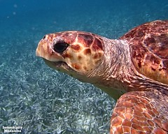 turtle (serendipitymadalena) Tags: ocean blue green seagrass turtle traveling belize sealife colorful animal reptile snorkeling seatrutle centralamerica wildlife nature expeditions expeditiontravling serendipitymadalena