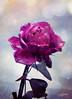 Rose (mártaczuczi) Tags: rose rózsa czuczi márta magyarország hungary flower virág lila purple frosty plant növény
