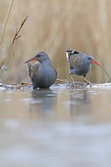 The Two Water Rail (Connor Coombes) Tags: shy waterrails birdwatching birding canon7d mcfadyen alan dumfries scotland photography canonphotography birdphotography wildlifephotography wildlife birds canonuk canon