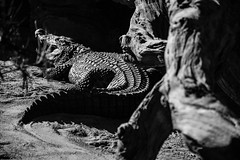 B&W Crocodile (WhiteShipDesign) Tags: wild wildlife zoo mouth large nature reptile animal swamp crocodiles background teeth fear predator powerful scales wilderness texture pattern fierce crocodile alligator black carnivore laziness resting relaxation outdoors photography posture prehistoric