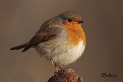 ROBIN / ERITHACUS RUBECULA (EXPLORED) (Tom Webzell) Tags: naturethroughthelens