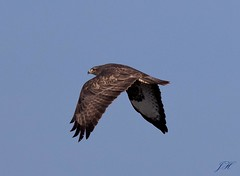 Buzzard (Ultimate Eeyore 2) Tags: stanford break bird oxfordshire nature wildlife birdsofprey buzzard flight nikon d500 sigma