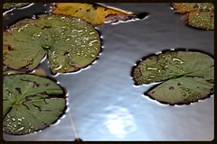 lily pads (jill.brubaker) Tags: stmarksnatlwildliferefuge lilypads plants waterplants waterlillies