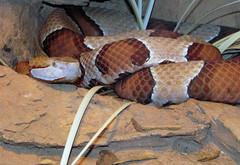 Broad-banded Copperhead 2 IMG_2488 (auntiepauline) Tags: copperhead snake viper broadbandedcopperhead reptile