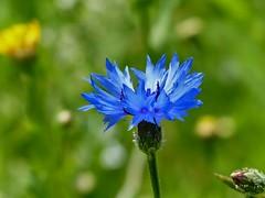 Blue (sunset1uk) Tags: cornflower blueflower wildflower southdowns hangleton eastsussex england summerflower hove brighton