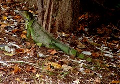 Wild Iguana (hardmile) Tags: reptile reptiles wildlife nature beauty magic outdoors forest water animals tropical tropics lagoon
