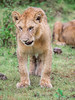 Call me kitty again (davdenic) Tags: africa ngorongoro savana savanna serengeti tanzania nature safari wildlife lion bigcat