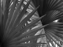 Intersecting leaves (Tim Ravenscroft) Tags: leaves palm monochrome blackandwhite selby gardens sarasota florida