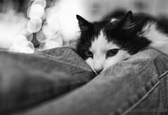 Sacceus (Håkon Kjøllmoen, Norway) Tags: cat cats katt animal røst sacceus bw christmas rest tired scared