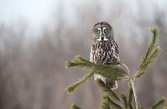 *** Chouette lapone  /  Great gray owl (ricketdi) Tags: bird chouette chouettelapone greatgrayowl explore31dec2016no3 coth5 sunrays5 ngc npc