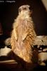 Erdmännchen / Meerkat (R.O. - Fotografie) Tags: erdmännchen meerkats erlebniszoo zoo hannover outdoor tier animal sonne sun panasonic lumix dmcfz1000 dmc fz1000 fz 1000