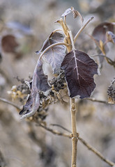 """Central Park Plant Life (""""Winter Season 2016-2017 In NYC"""") (nrhodesphotos(the_eye_of_the_moment)) Tags: dsc0508672 """"theeyeofthemoment21gmailcom"""" """"wwwflickrcomphotostheeyeofthemoment"""" winterseason20162017innyc winter nature season botanicals plantlife plant leaves stems bokeh outdoor ribs manhattan nyc centralpark texture"""