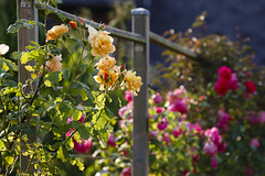 Happy summer fence Friday ! (Mariette80) Tags: roses fencefriday