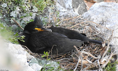 Shag on the nest (Geminiature Nature+Landscape Photography Mallorca) Tags: shags phalacrocoraxaristotelis corbmari aalscholver aalscholvers kuifaalscholver eggs nest huevos eieren nido mallorca aves aus vogels birds nidificando winter invierno