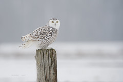 SNOWY - FEMALE (AIR BUS) Tags: snowyowl raptors owls birdsofprey alexborbely birds avian d4