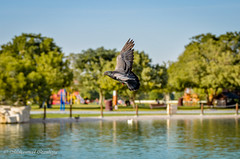 Aspire Park Pic.3 of 10 (Mohammed Qamheya) Tags: d7000 bird pigeon pond lake aspirezone park doha qatar tamronsp70200f28divcusd