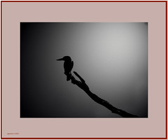 kingfisher 2 (agphoto100) Tags: bird broadwater park queensland water sand mono frame olympus sz16 black sky dark foodforthought flickraward mood minimal minimalism art dream silhouette supershot