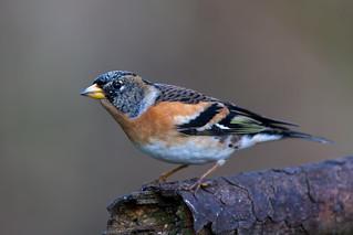 Brambling (Male)