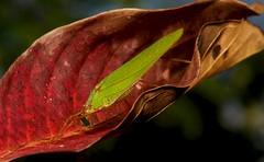 Katydid (Phaneropterinae, Tettigoniidae) (John Horstman (itchydogimages, SINOBUG)) Tags: insect macro china yunnan itchydogimages sinobug katydid bush cricket orthoptera tettigoniidae phaneropterinae tumblr