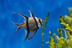 Banggai Cardinalfish (Keith in Exeter) Tags: banggai cardinalfish tropical fish aquarium zoo zsl london pterapogon indonesia swim striped spots animal life nature water